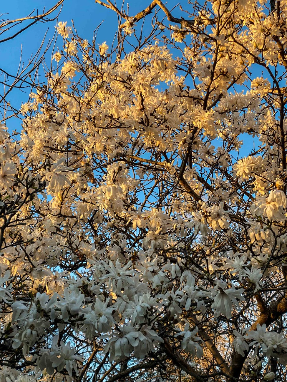 blooming tree with white blossoms under blue sky